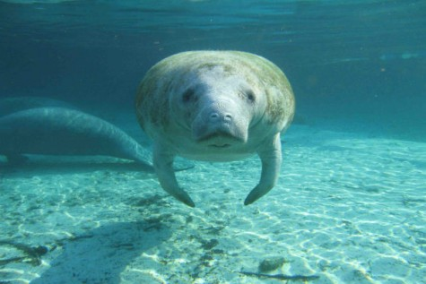 Save the sea cows!